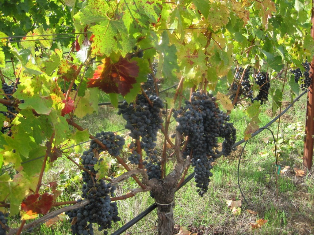 grapes_lovely