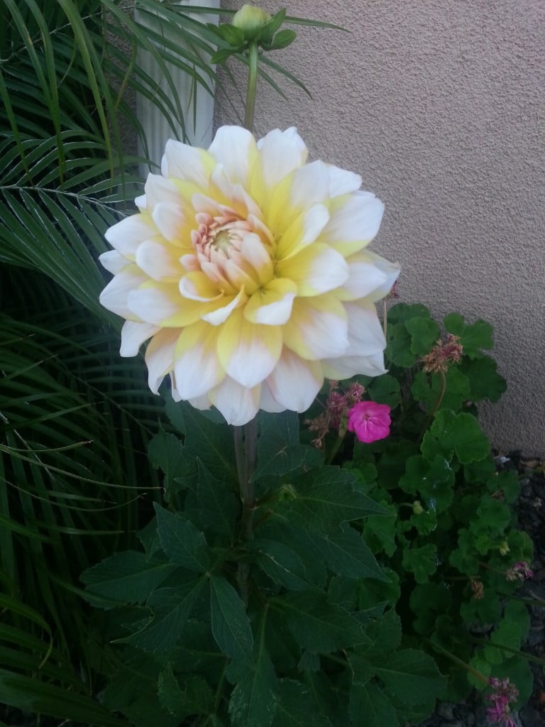 Dahlia, my back yard