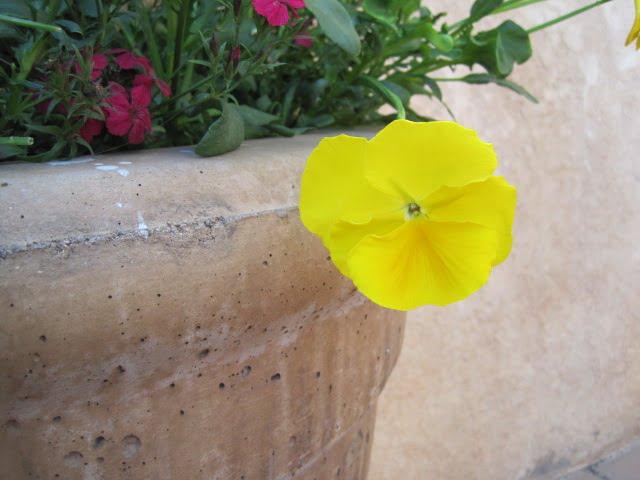yellow pansy artsy
