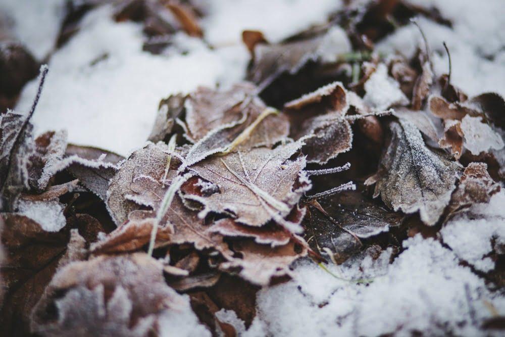 snow-on-leaves